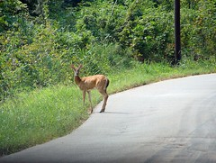 In The Road (cindy47452) Tags: nature animal indiana deer whitetail lawrencecounty