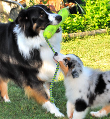 Tug of war (Micha67) Tags: dog pet pets playing dogs animal puppy michael nikon shepherd australian kong micha pup aussie odin 9weeks cezanne aussies schaefer d300 herder
