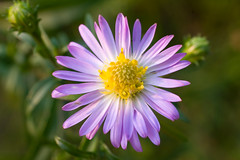 It can be Aster. Or Brachyscome? a-ka Cut-leaf Daisy, or Swan River Daisy (v.plessky) Tags: flowers summer flower macro nature yellow raw russia vivid sigma blumen astro dynax7d maxxum7d daisy fabulous jpeg 2008 aster blooming konicaminolta asteramellus cubism  alr    familyasteraceae    sigmalens brachyscome  fantasticflower konicaminoltadynax7d  rawjpeg  vadimplessky excellentsflowers    wonderfulworldofflowers mimamorflowers  qualitypixels  auniverseofflowers awesomeblossoms flickrflorescloseupmacros  kalkaster