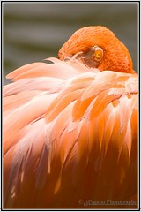 Eye Spy (American Flamingo) (Paul Pagano) Tags: red color eye nature beauty bravo birding americanflamingo canon30d kenko15xtc canonef400f56l