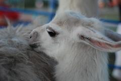 DSC_0145 (Funky Cody) Tags: sheep peeing