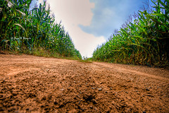 Road to Freedom... (darth_bayne) Tags: vanishingpoint pennsylvania lancaster cornstalks dirtroad hdr amishcountry 1exp theperfectphotographer