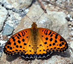 histoire d' orange (xeno(x)) Tags: light orange color macro art nature canon butterfly insect asia 2008 xeno 40d natureoutpost excapturemacro