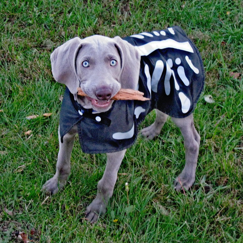 Weimaraner Halloween Costumes A Weimarainer In A Blonde Hair