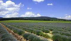 paesaggi (poldo61) Tags: landscape nikon francia paesaggi montagna trentino provenza lavanda d300 laghi