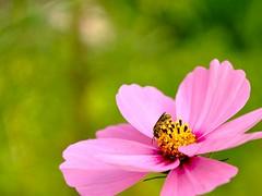 busy bee (Remiss63) Tags: autumn copyright flower fall garden photographer stlouis bee photograph utata kirkwood saintlouis honeybee cosmos allrightsreserved raimist kirkwoodmissouri andrewraimist remiss63