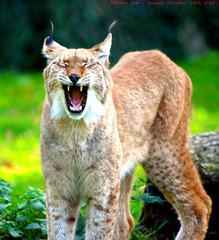 Don't make me laugh... (law_keven) Tags: england cats cat kent furry kitty bigcat furryfriday lynx howlettswildlifepark northernlynx 100commentgroup