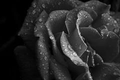 Rose-B&W (thebluewhale) Tags: flowers bw plants flower detail macro nature wet water rain rose nikon bokeh waterdroplet blackandwhiterose d40 wetrose 123bw closeuprose nikond40 nikkor55200mmvr