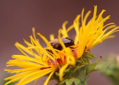 The golden cage (Inula magnifica) (cpf1) Tags: garden bee soe asteraceae inulamagnifica