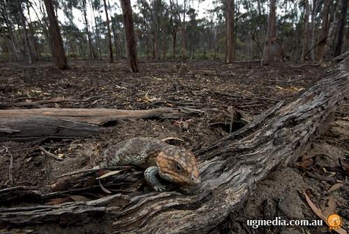 Shingleback skinks (Tiliqua rugosa)