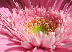 pinkgerbera_close