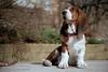 Leonard (Russ Beinder) Tags: dog chien film puppy kodak topc50 canine leonard bassethound nikonfa hushpuppy coolscan5000 impressedbeauty 9204010007 gold4003