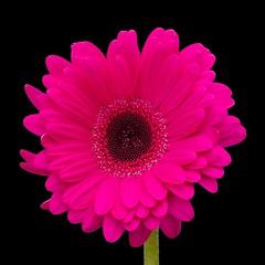 Pink Gerberas make me happy (Vanessa Pike-Russell) Tags: pink flower macro pentax gerbera k20d