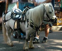 argentina pony 8 (Martina V.) Tags: horse argentina de caballo grey pony stallion poni gaucho feria mataderos