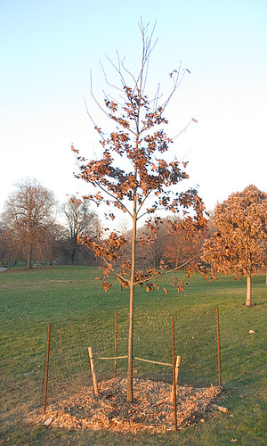 Caged tree, late autumn