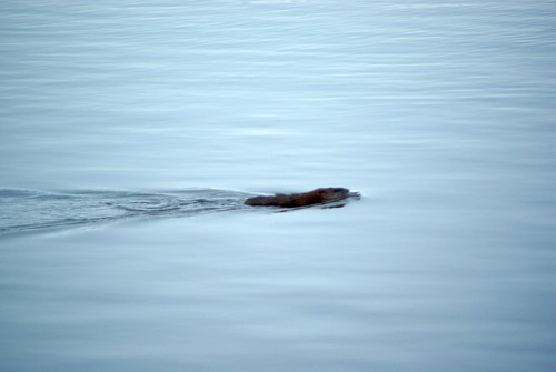 Beaver Swimming in RdP