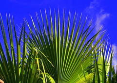 Palm Monday (oybay) Tags: blue winter arizona sky color tree green nature colors warm december sunny palm palmtree