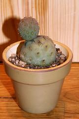 Tephrocactus geometricus (siwa) Tags: cactus cacti suculent kaktus kaktusy tephrocactus sukulent tephrocactusgeometricus
