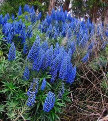 Blue Cone Beauty, Golden Gate Park, San Francisco (moonjazz) Tags: blue cone flower plant blossom color vivid pure garden goldengate california sanfrancisco photo echium
