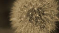 Blowball sepia #1 (Julia Sonnenstern) Tags: sepia pusteblume blowball