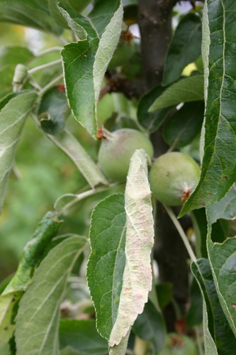 Columnar apples are producing