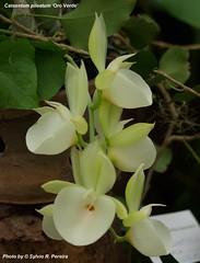 Catasetum pileatum 'Oro Verde' (Sylvio-Orquídeas) Tags: flowers flores orchids orchidaceae catasetum pileatum orquídeas