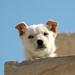 Pharaoh dog
