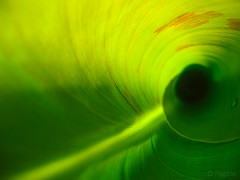 Tunel to the earth (raphie) Tags: plant verde green planta photography bananeira photographer australian curls australia vert banana curly tropical portfolio folha bananaleaf