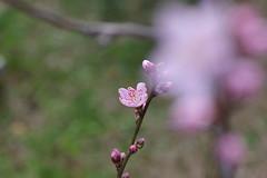 2つ目の花