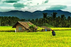 The Largest Backyard (jeridaking) Tags: trees mountains clouds rural canon season landscape 350d airport backyard asia southeastasia rice coconut philippines harvest hut filipino farmer rebelxt ricefield ralph pinoy visayas leyte ormoc bahaykubo bisaya bisdak ormocanon jeridaking matres fortheloveofphotgraphy leytephotographer ormocphotographer