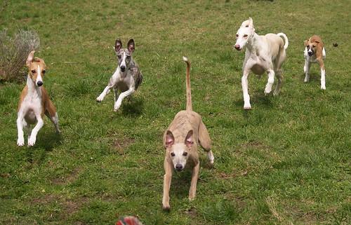 Whippet puppies: Nisha, Pluto, Coco, Quentin; Galgo: Annea
