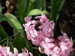 A little bee in the hyacinth.