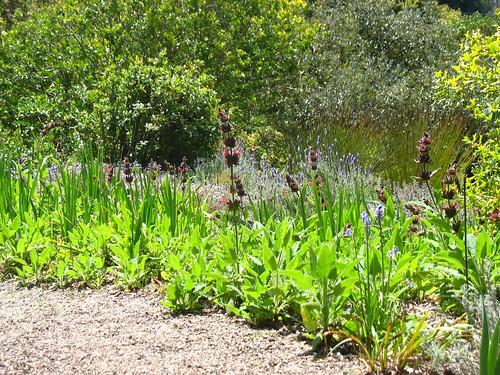 Salvia spathacea (Blake Garden)