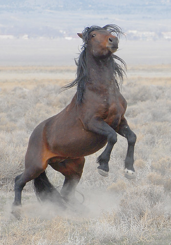mustang horse rearing. Onaqui Wild Horse Man. Area