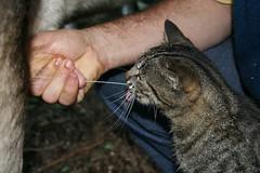 Cat drinks directly from cow (Trulytrue) Tags: cat milk gato teta milking vaca teat leite ordenhar