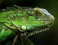 "iguana ""Green Iguana"" (tropicaLiving - Jessy Eykendorp) Tags: bali macro green nature animal closeup fauna indonesia geotagged photography bravo asia reptile iguana nationalgeographicmagazine greeniguana mywinners worldbest anawesomeshot excapture macromarvels theperfectphotographer tropicaliving tropicalivingtropicallivingtropicalliving panasoniclumixdmcfz8panasoniclumixdmcfz8 jessyce geo:lon=115157318 geo:lat=8817225"