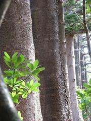 Old Norfolk Pines near Museum (sbittinger) Tags: lordhoweisland