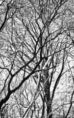 Seventy Two Million (Thomas Hawk) Tags: nyc newyorkcity trees blackandwhite bw usa newyork tree blackwhite unitedstates centralpark manhattan unitedstatesofamerica natureshand