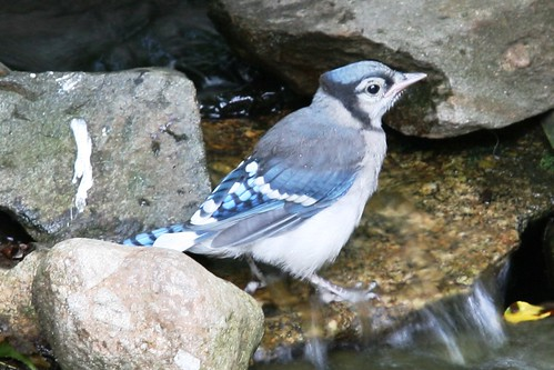 fledgeling bluejay