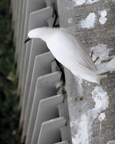 Snowy Egret (Astia:001:36)