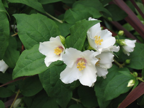 Mock Orange Blossom