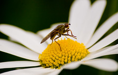 Wash your hands before dinner (julian fraser photography) Tags: flower macro insect fly nikon daisy 70300mm wilddaisy d40 naturethroughthelens