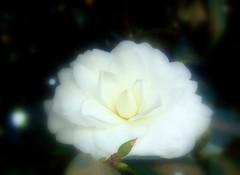 Etrea (tinica50) Tags: white flores branca day115 camlia blueribbonwinner cherryontop project365 laflormasbella bej mywinners macroflowerlovers thepoweroftheflower mimamorflowers