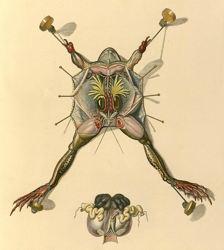 pinned, dissected frog