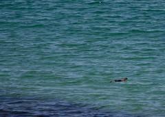 Otter (scottyboylamont) Tags: lutralutra europeanotter