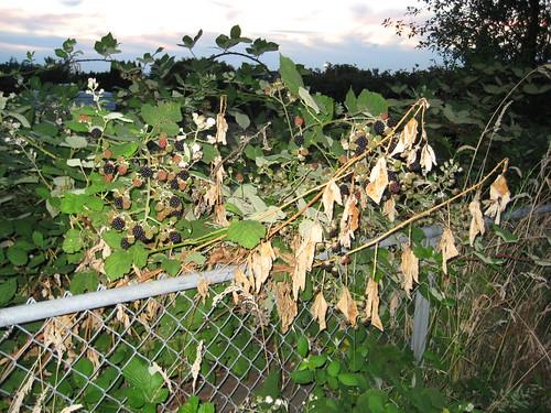 neighbor blackberries