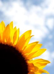 sunflower04
