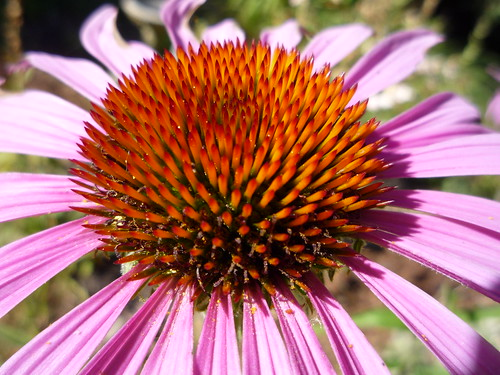 coneflower vortex