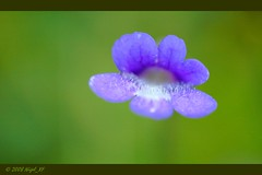 Lofoten ... tiny blue bloom (nigel_xf) Tags: flowers norway norge nikon blossom d70s norwegen blumen nikond70s blooms nigel lofoten blten lofotenislands nigelxf