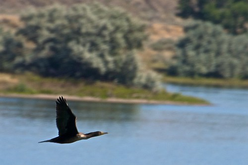 Waterfowl over Fort Peck Lake cuts